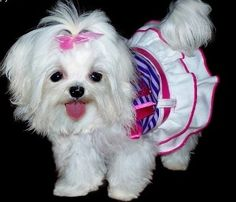 I want another Maltese & this doggy dress for Angel ah