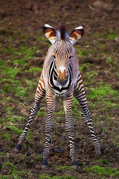 "Baby Zebra - ""Doing the Splits"" by Stuart Robertson Reynolds Flickr - Photo Sharing!"