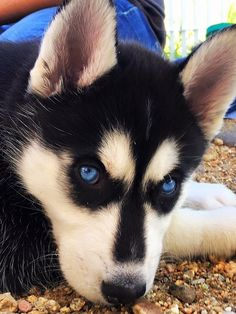 Wonderful All About The Siberian Husky Ideas. Prodigious All About The Siberian Husky Ideas. Husky Humor, Cute Husky, Husky Puppy, Siberian Husky Funny, Siberian Huskies, Cute Puppies, Cute Dogs, Husky With Blue Eyes, Photo Animaliere