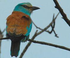 """Blauracke-Blauracken sind häherartige, kräftige Vögel mit einem starken Schnabel, der an der Spitze etwas hakig ist. Das Gefieder ist hell azurblau; die lebhaft blauen Flügel sind –wie im Flug zu sehen- schwarz gesäumt. Der Rücken ist leuchtend rötlichbraun gezeichnet. Der Schwanz ist grünlichblau; die mittleren Steuerfedern sind düster gefärbt. Blauracken werden 30,5 cm groß. Ihr Ruf ist krähenartig, tief und laut und hört sich an wie """"krak-ak"""", """"rä-rä-rä"""" oder """"kr-r-r-r-ak""""."""