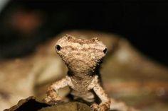 世界最小カメレオン