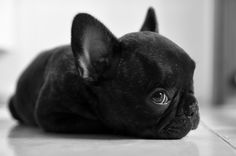 My baby when he was 9 weeks old by ElianePires Limited Edition French Bulldog Tee http://teespring.com/lovefrenchbulldogs