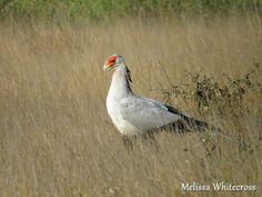Secretary Bird - Mopani, KNP