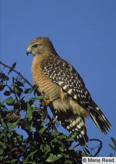 4 Red-shouldered hawks hang out in the park next to my house. They are my new fave thing to watch while walking the dog in the morning. Soo beautiful :)