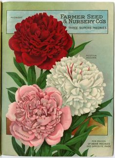 """Inside the back cover of the 1918 Farmer Seed & Nursery catalog is this spread of gorgeous """"superb"""" peonies (or paeonies). Farmer Seed & Nursery originated in Faribault, MN in 1888. University of MInnesota Andersen Horticultural Library hosts a small collection of vintage Farmer Seed & Nursery catalogs."""