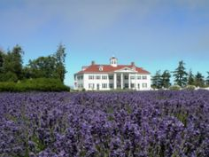 Lavender plants at George Washington Inn and Estate - Lavender farm in PA