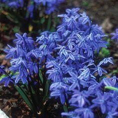 Die wohl blaueste Blume der Welt: Scilla siberica. Sie blüht im Frühjahr und wird als Blumenzwiebel im Herbst gepflanzt. Online erhältlich bei www.fluwel.de