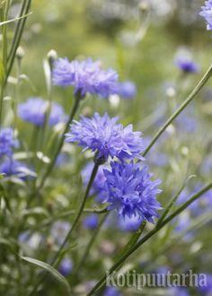 Ruiskaunokki (Centaurea cyanus) www.kotipuutarha.fi