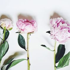 stripesandpeonies:  I can't stop photographing these peonies ;) // Inspiration from @Tana Gandhi