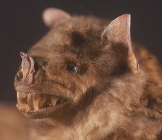 bats | Natural History Collections: What do Bats Look Like (give him a break - he's smiling!)