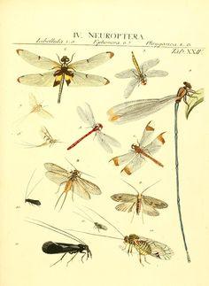 c. 1 - Genera insectorum Linnaei et Fabricii iconibus illustrata / - Biodiversity Heritage Library