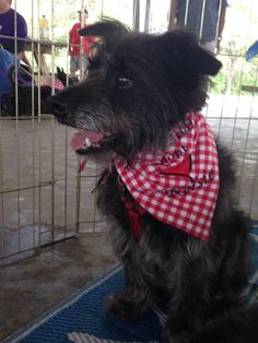 Meet Kelsie **Updated**, a Petfinder adoptable Cairn Terrier Dog | Spring, TX | ALL OUR DOGS ARE FOSTERED IN PRIVATE HOMES. Approved adopters only will be invited to meet the...