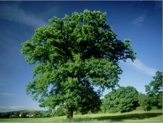 size: Photographic Print: Oak in Summer Poster by Mike England : Artists Summer Poster, Poster Prints, Art Prints, Cool Posters, Custom Framing, Online Printing, England, Artist, Plants