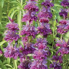 The most mildew-resistant Bee Balm yet, violet-lilac 'Bergamo' sets huge spikes of blooms from late spring through late summer, irresistible to butterflies and great for cutting. Winner of Europe's coveted Fleuroselect Gold Medal, this Dutch variety is sure to revolutionize Monarda growing in humid and rainy climates!