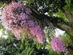 Dendrobium anosmum é uma espécia de orquídea com longos caules em forma de cana, pendentes, de folhas opostas e decíduas, nativa da Malásia, Laos, Vietname, Filipinas, Indonésia e Papua-Nova Guiné.