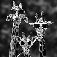 A me piacciono le giraffe. Le trovo belle, aggraziate e buffe allo stesso tempo. Oggi ho visto una t-shirt per bambini con delle giraffine molto graziose che mi ha fatto sorridere, ed ecco che la felicità mi ha fatto la solita sorpresa!  #100daysofhappiness #day14 #giraffe #allegre #buffe #aggraziate #beeellegiraffine