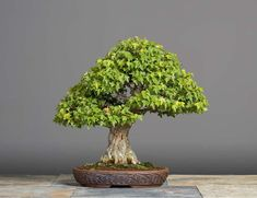 Trident Maple #bonsaitrees
