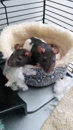 Ladybug and Bumblebee getting snuggly. #aww #cute #rat #cuterats #ratsofpinterest #cuddle #fluffy #animals #pets #bestfriend #ittssofluffy #boopthesnoot