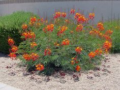 """""""Caesalpinia pulcherrima, Pea Family: (Fabaceae ), Red Bird Of Paradise; Sometimes called Mexican Bird of Paradise which is [also] the common name for the yellow variety, Caesalpinia mexicana. Also called Pride of Barbados.""""  George & Audrey DeLange."""