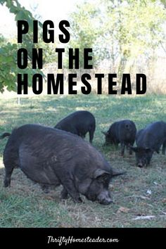 Even if the pigs are only on your homestead for six months during the growing season, they will still provide many benefits for you and, you get bacon! #raisingpigs
