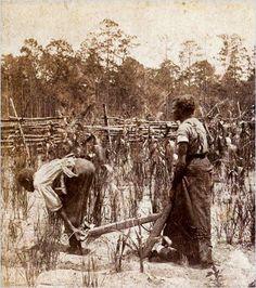 Working in rice fields, South Carolina