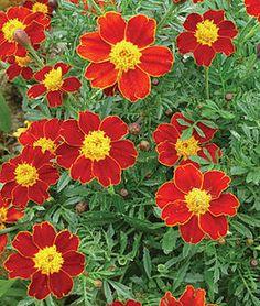 Marigold, Cottage Red,