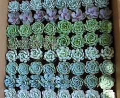 "2.5"" Rosette Succulents bulk wholesale succulent prices at the succulent source - 11"