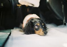 Beware of 'the doxie look' = up to no good Funny Dachshund, Dachshund Puppies, Dachshund Love, Funny Dogs, I Love Dogs, Cute Dogs, Puppies And Kitties, Doggies, Weenie Dogs