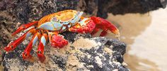 Red Crab by ml_thorsteinson, via Flickr