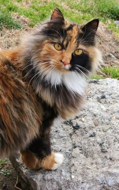 This Long haired calico cat is sooo beautiful Pretty Cats, Beautiful Cats, Animals Beautiful, Cute Animals, Pretty Kitty, Beautiful Pictures, Gato Calico, Calico Cats, Long Haired Cats