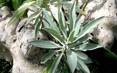 Räuchersalbei, indianisch (Pflanze)