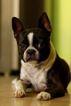 boston terrier-Looks like Little Dog!!