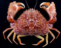 Calappa Bicornis Right claw opens shells; left claw pulls out meat. (most shells are curled to the right) Underwater Creatures, Underwater Life, Beautiful Creatures, Animals Beautiful, Crab Stuffed Shrimp, Crab And Lobster, Deep Sea Creatures, Interesting Animals, Beautiful Fish