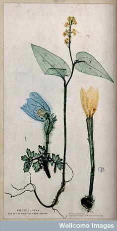 Three plants, an anenome, a mercury and a crocus: nature print 1860/