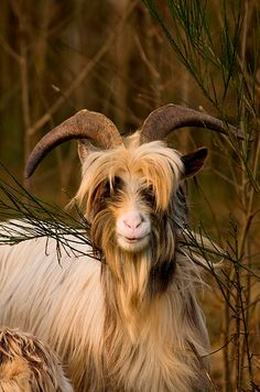 Alpine Goat - amazing hair!
