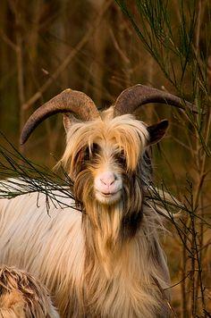 Wild Bilberry Goat - Ireland