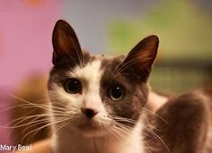 Sophia is an adoptable Domestic Short Hair - Gray And White Cat in Prescott, AZ. Sophias Contact Info *** Questionnaire *** If you would like to meet Sophia, please download the questionnaire, fill i...