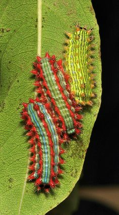 "˚Stinging Nettle Slug Caterpillars (Cup Moths, Limacodidae) ""Triple Streak"""
