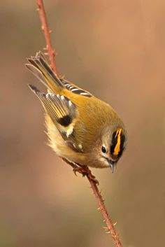 Goldcrest (Regulus regulus) is a very small passerine bird in the kinglet family