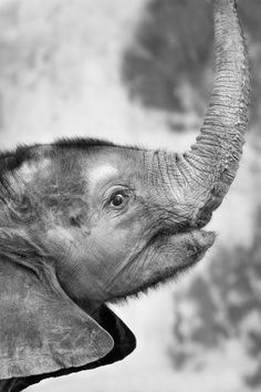 Baby Elephant Trunk by Josef Gelernter on - I love elephants so much Elephants Never Forget, Save The Elephants, Baby Elephants, Giraffes, Elephant Trunk, Elephant Love, Elephant Art, Baby Animals, Cute Animals