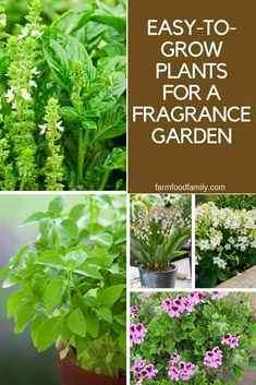 Fragrant Annual Plants: Easy-to-Grow Plants for a Fragrance Garden Annual plants grow and flower quickly and these annuals are perfect additions to a nose-pleasing fragrance garden. Which scents will you add to your garden? Perfume Hermes, Perfume Versace, Growing Flowers, Growing Plants, Organic Gardening, Gardening Tips, Vegetable Gardening, Container Gardening, Perfume Calvin Klein