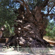 ZWISCHEN DEN MEEREN...: besuch in ANO VOUVES beim wahrscheinlich ältesten olivenbaum der welt