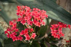 Tömött Korallvirág Kalanchoe Blossfeldiana, Flowers, Plants, Plant, Royal Icing Flowers, Flower, Florals, Floral, Planets