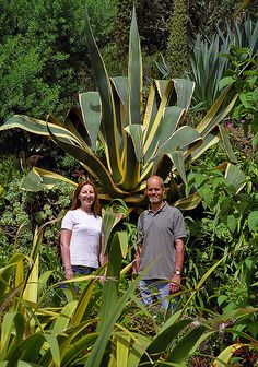 Tresco Abbey Gardens, Scilly Isles, UK   A giant agave in this superb sub-tropical garden (9 of 12)