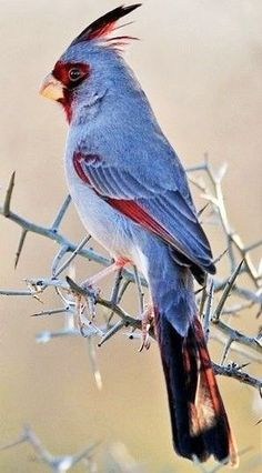 Image result for cardinal plumage