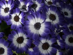 Purple and white cineraria posted at Flickr by Shandchem