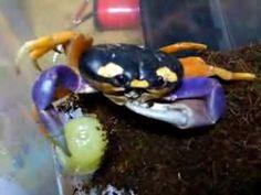 Halloween Crab, Animals And Pets, Cute Animals, Crabs, Zodiac, Sign, Future, Pets, Pretty Animals
