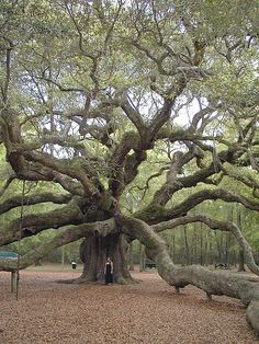 Angel Oak - Oldest Tree East of the Mississippi - located in Johns Island, South Carolina, is believed to be more than 1,500 years old. Don't miss the lady standingat the base. It is huge!!
