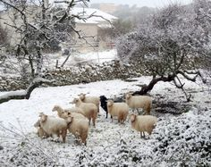 "Exceptional Snowfall in Sardinia  after 27 years (Italy) the sheeps seem to be in identity crisis: ""where are we?"""