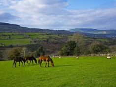 Horses and Sheep in the Barrow Valley, Near St Mullins, County Carlow, Ireland Photographic Prin